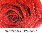 fresh rose | Shutterstock . vector #19885027