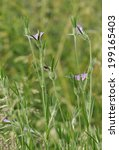 Small photo of Corncockle - Agrostemma githago Rare Arable Wild Flower