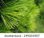 Close Up Of Christmas Pine Fir...