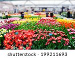 Multicolored Tulips In...