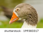 Animals In Wildlife   Goose