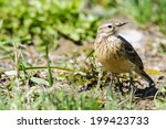Small photo of American Pipit in a roadside field in spring