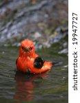 Scarlet Tanager  Piranga...