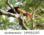 Small photo of Knobbed Hornbill (Aceros cassidix) male in Sulawesi, Indonesia