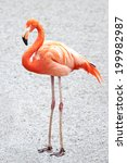 Small photo of American Flamingo (Phoenicopterus ruber)