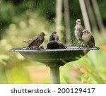 A Family Of Starlings Enjoying...
