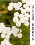 Small photo of Achillea ptarmica flowers close up background