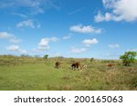 grazing hereford cows on dutch... | Shutterstock . vector #200165063