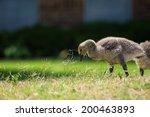Cute Canada Goose Gosling...