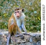 monkey on stone. take it in sri ... | Shutterstock . vector #200532317