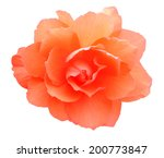 Begonia Flower Isolated On...