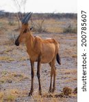Small photo of Red hertbeest in the savannah (Alcelaphus caama)