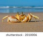 Alert Ghost Crab  Ocypode...