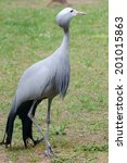 Blue Crane   Anthropoides...