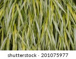 a close up of hakone grass ... | Shutterstock . vector #201075977