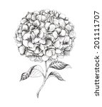Hand Drawn Hydrangea  Vector...