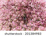 Pink Flowering Tree In...