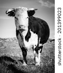 Hereford Cow Staring While...