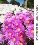 Small photo of Beautiful purple and white flowering aizoaceae plant