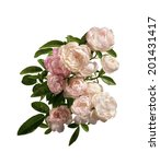 jasmine flowers isolated on... | Shutterstock . vector #201431417