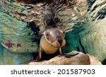 A Californian Sea Lion Of...