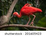 A Scarlet Ibis Walking Along A...