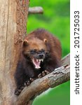 Small photo of angry Wolverine