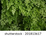 Small photo of A beautiful green of Adiantum raddianum.
