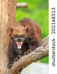 Small photo of angry wolverine baring teeth