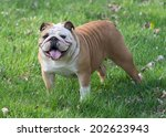 english bulldog outside in the... | Shutterstock . vector #202623943