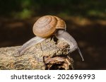 snail crawling on the bark... | Shutterstock . vector #202696993