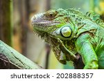 Green Iguana Reptile Portrait...