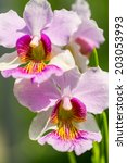 Small photo of Pink Vanda Miss Joaquim orchid , national flower of Singapore, close up