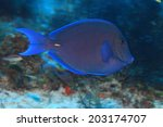 Small photo of Blue tang surgeonfish (Acanthurus coeruleus) in the tropical coral reef of the caribbean sea