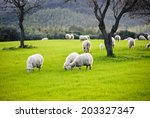Sheep Grazing Colorful Pasture...