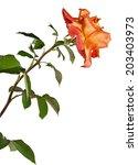 rose isolated on white... | Shutterstock . vector #203403973