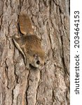 Southern Flying Squirrel...
