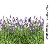 Lavender Flowers Isolated On...
