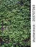 green ivy on metal gate. | Shutterstock . vector #203707363