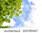 The Aspen Green Leaves On A...