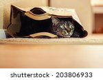 Stock photo  year old male tabby cat lying in a brown paper bag image taken indoors in reno nevada usa 203806933