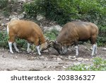 Banteng (Bos javanicus) or redbull in the forest of Thailand