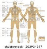 a diagram of the human skeleton....