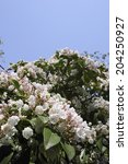Small photo of Kalmia Flowers And Blue Sky