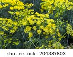 Fennel Bloom In Mid Summer