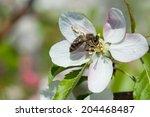 european honey bee  apis... | Shutterstock . vector #204468487