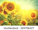 Sunflower Field. Beautiful...