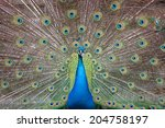 Portrait Of An Indian Peafowl ...