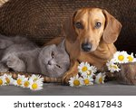 Stock photo british kitten rare color lilac and puppy red dachshund cat and dog 204817843