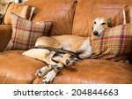 Lurcher On The Furniture
